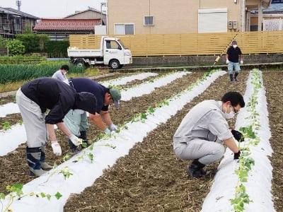 さつま芋苗定植
